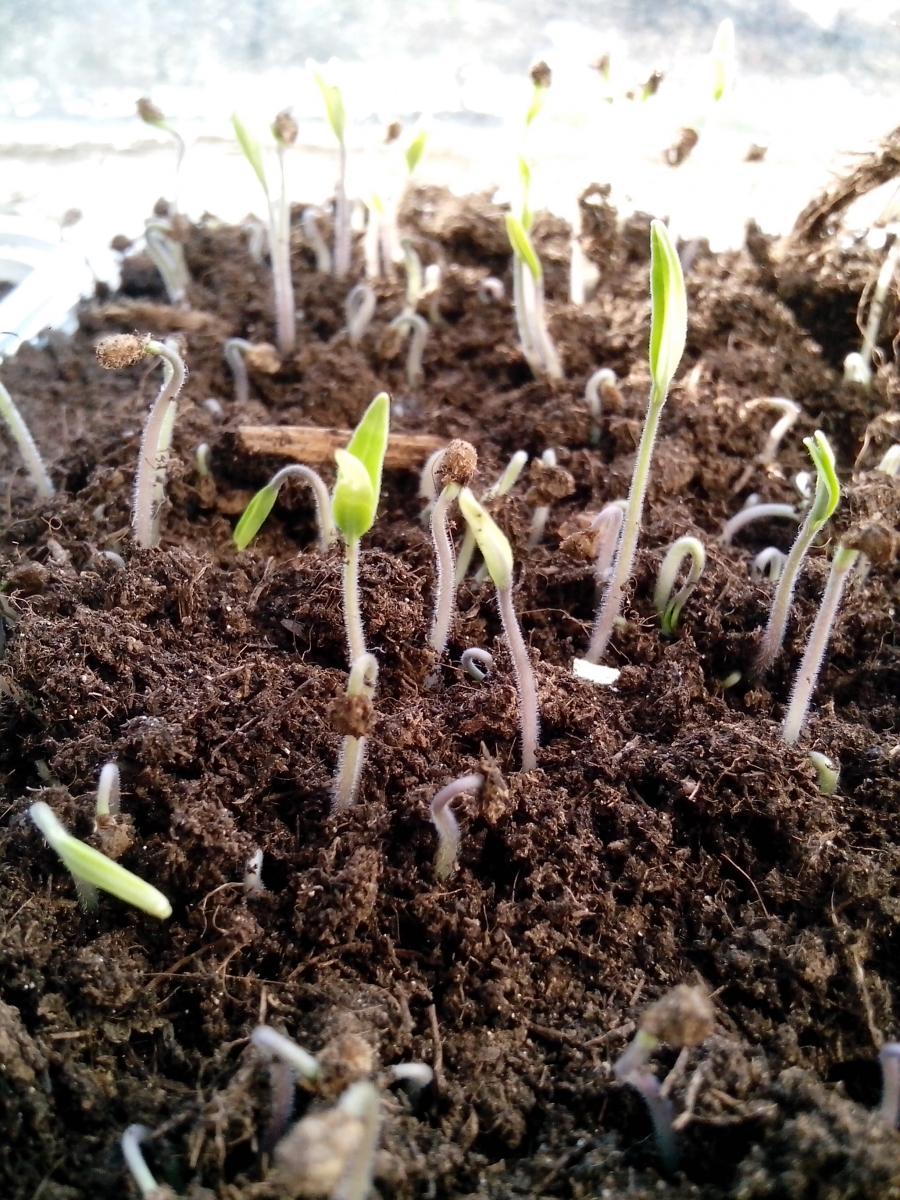 Как выращивать помидоры из семян 60