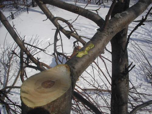 Неправильный срез ветви и травмирование боковой ветви