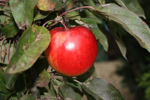 Яблоня | сорт Афродита