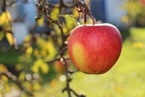 Августа - сорт яблони