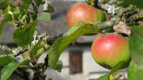 Рождественское - купить этот сорт яблони в Твери