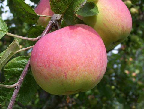 Мелба - сорт яблони