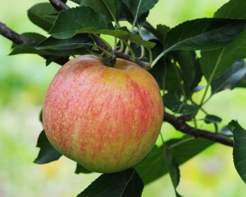 Орловское полосатое - купить яблоню в Москве и Твери