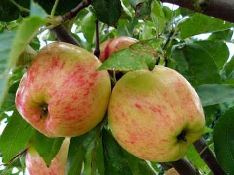 Яблочный спас - купить сорт яблони в Москве и Твери