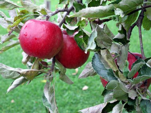 Веньяминовская - купить яблоню в Москве и Твери