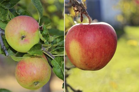 Двухсортовое дерево яблони