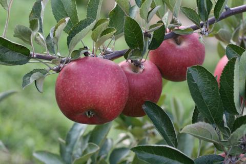"""Лобо - купить этот сорт яблони у """"Садэксперт"""""""