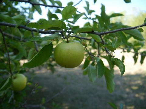 Масловское - упить этот сорт яблони в Москве и Твери