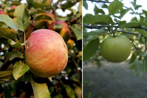 Двухсортовое дерево яблони от ООО Садэксперт