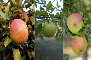 3 сорта яблони